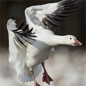 Birds of the Salish Sea